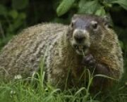 AU News Groundhog Day: A Slightly Sarcastic Origin Story -- but It's True for American University Students in Washington, DC